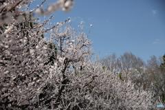 春空にアンズの花満開