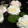 芳香のスイレン鉢