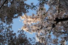桜花らんまん
