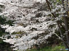 桜たなびく