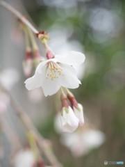 春ほほえみ