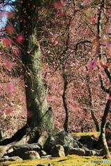 春めく古木