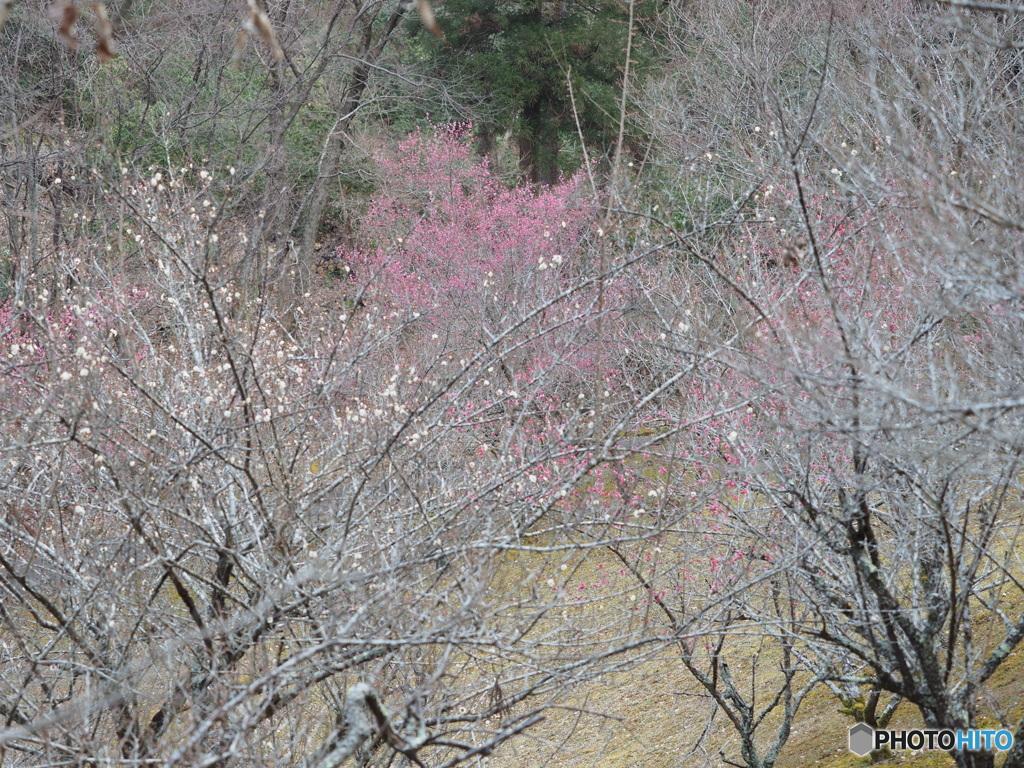 梅の色うすき