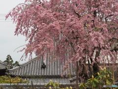 いらかと桜の宴