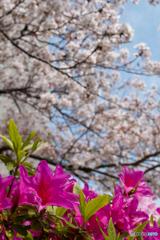 春はツツジ色へ