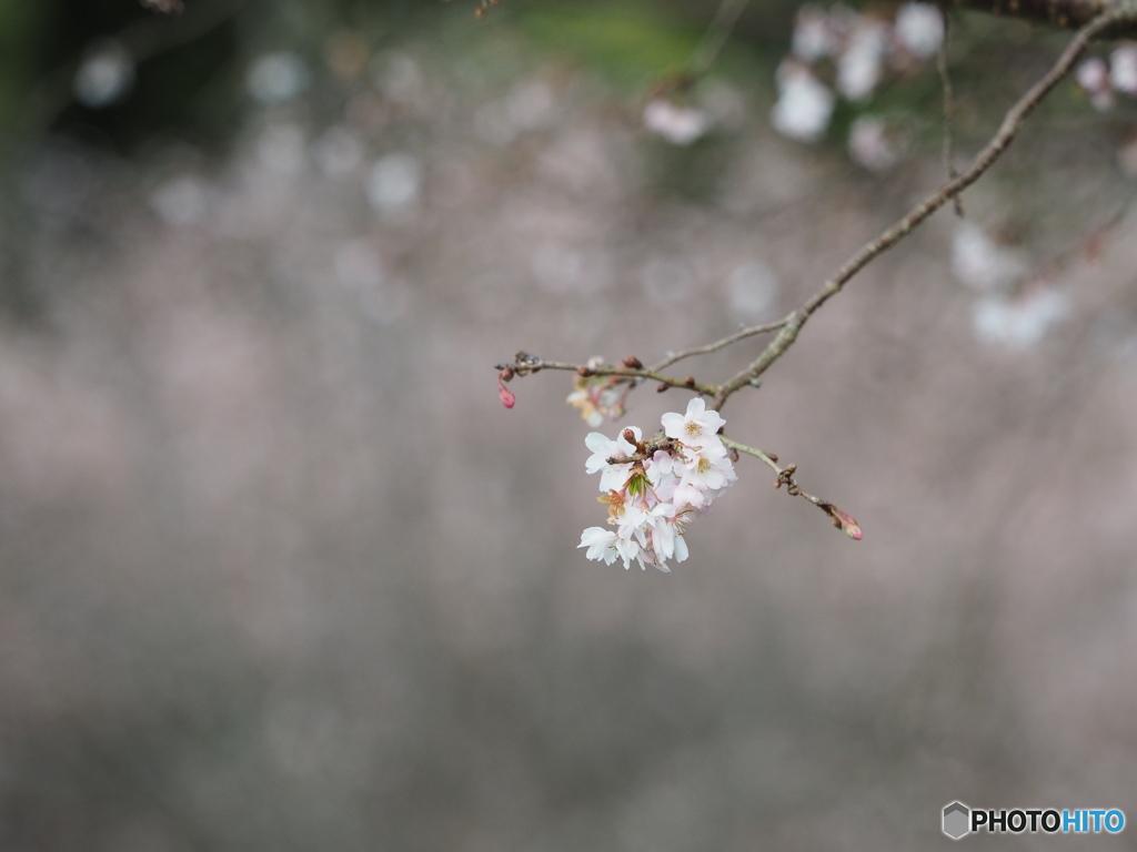 寒気の中に咲く