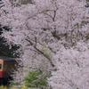 桜から顔を出す