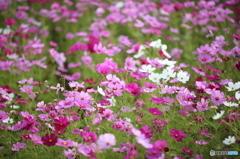 秋ですねぇ~秋桜^^ 6