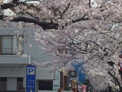 緑と文化のプロムナードの桜