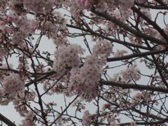徳山動物園の桜3