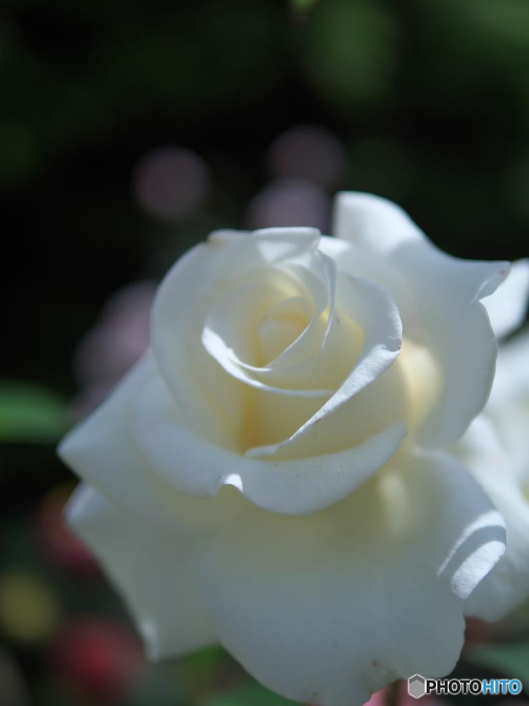 バラが咲いたⅡ P1195868