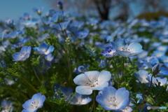昭和記念公園のネモフィラ P1173033