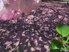 花びらに描かれた影絵 P1184299