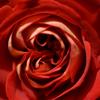 薔薇を愛でてみる 2