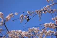 桜と四十雀