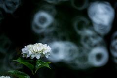 紫陽花の思い。 Reflex Nikkor 500mm F8