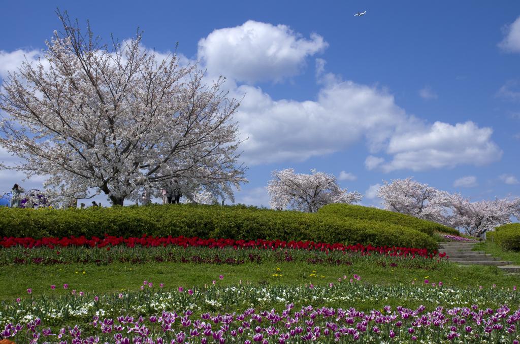 丘の上の桜と飛行機