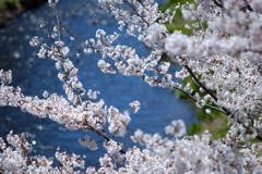 桜咲く_11