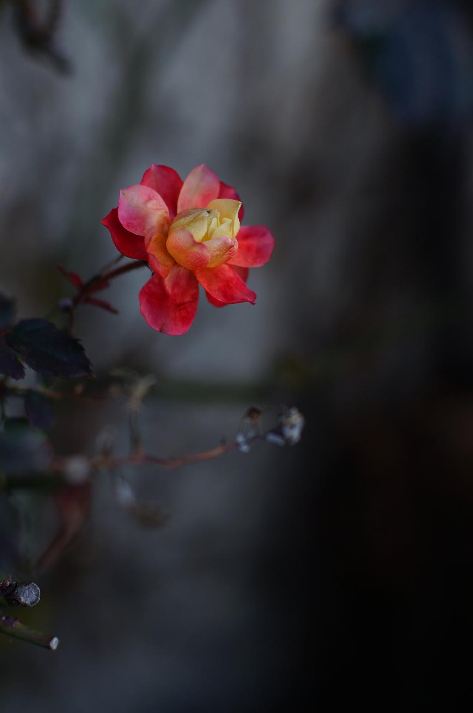 冬薔薇_3