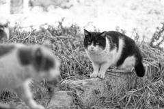 cat_526 ロミオ