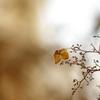 冬の紫陽花_8