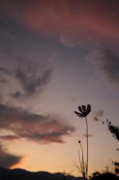 秋桜_3 黄昏時