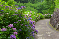 紫陽花咲く山之口あじさい公園