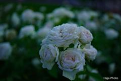 今回、一連の薔薇の撮影はS-Log2を使用してます~