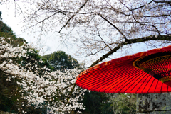 蛇の目と桜