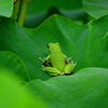 蓮の葉に蛙