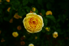 薔薇の切れ味
