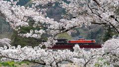 満開の桜とDLやまぐち号