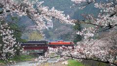 桜とDLやまぐち号