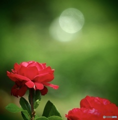 夏日の薔薇です