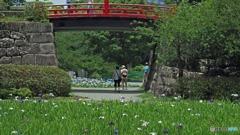 石垣と花菖蒲