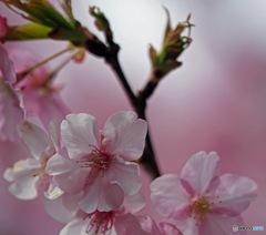 西平畑公園の早桜