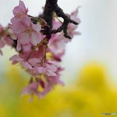 菜の花バックに河津桜