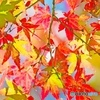 暖冬で長い期間、紅葉が楽しめました