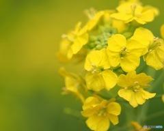 西平畑公園の菜の花