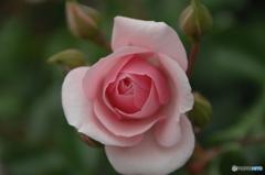 薔薇(pink)①