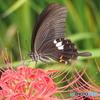 彼岸にとまる黒蝶②