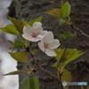 桜から青葉へ