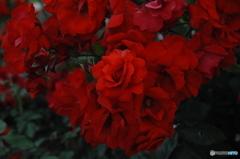 真っ赤な薔薇はいかが?