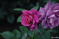 薔薇(purple)②