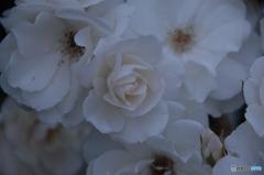 薔薇(white)