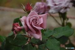 薔薇(purple)①