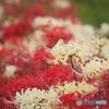 紅 白な彼岸花