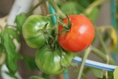裂けちゃったトマト