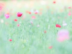 くりはま花の国 ポピーまつり