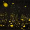 蛍の光が作る木々のシルエット